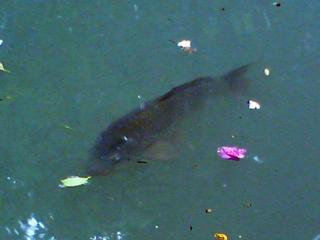 鯉のお出迎写真