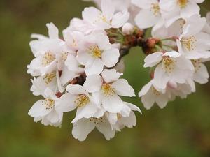 ワールドメイトの桜のイメージ